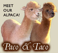 Alpacas from the farm
