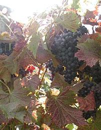Hershey wines