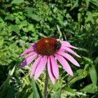 flower-bumblebee