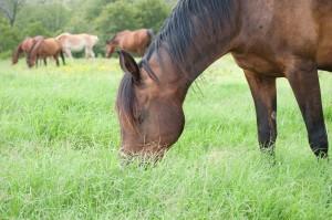 Happy dark bay horse grazing in lush knee deep grass in summer,