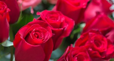 Rows of red roses