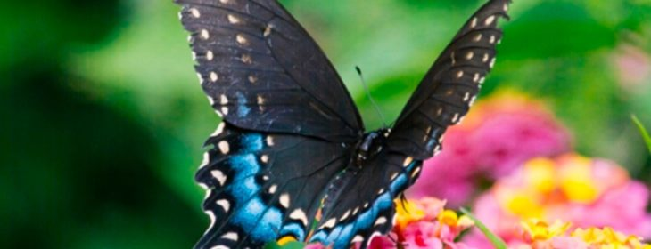 Blue and black butterfly feeding on yellow and pink flowers